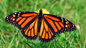 The monarch butterfly will be protected at our preserve