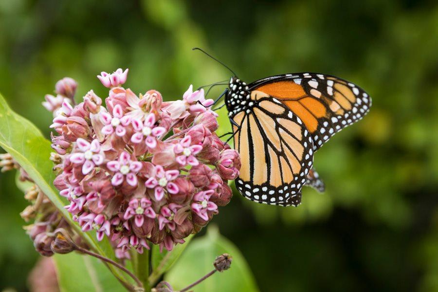 milkweed-plant-monarch-butterfly-shutterstock-com_12623.jpg