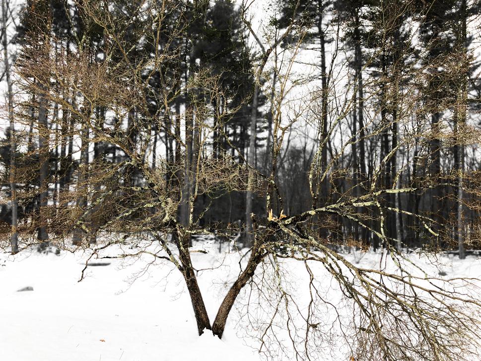 Dogwood-broken-2.jpg