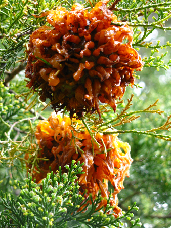 Cedar Apple Rust