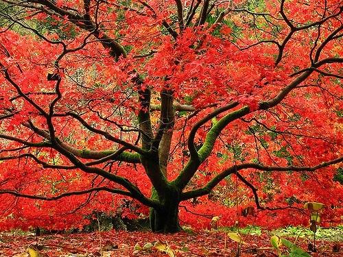 9. Japanese Maple
