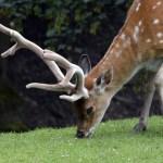fallow-deer-1577295_1920.jpg