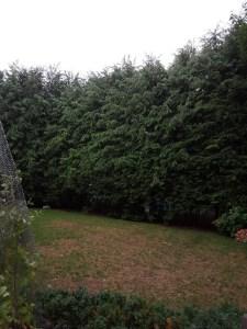 Arborvitae_Hedge.jpg