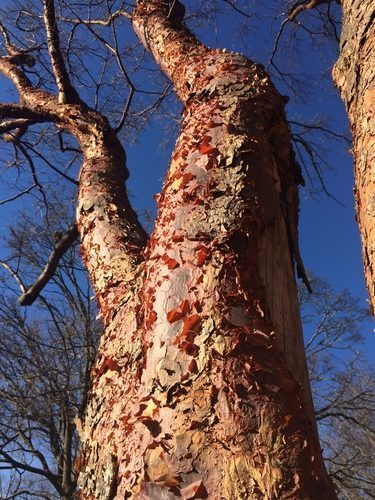 Large Paperbark Maple