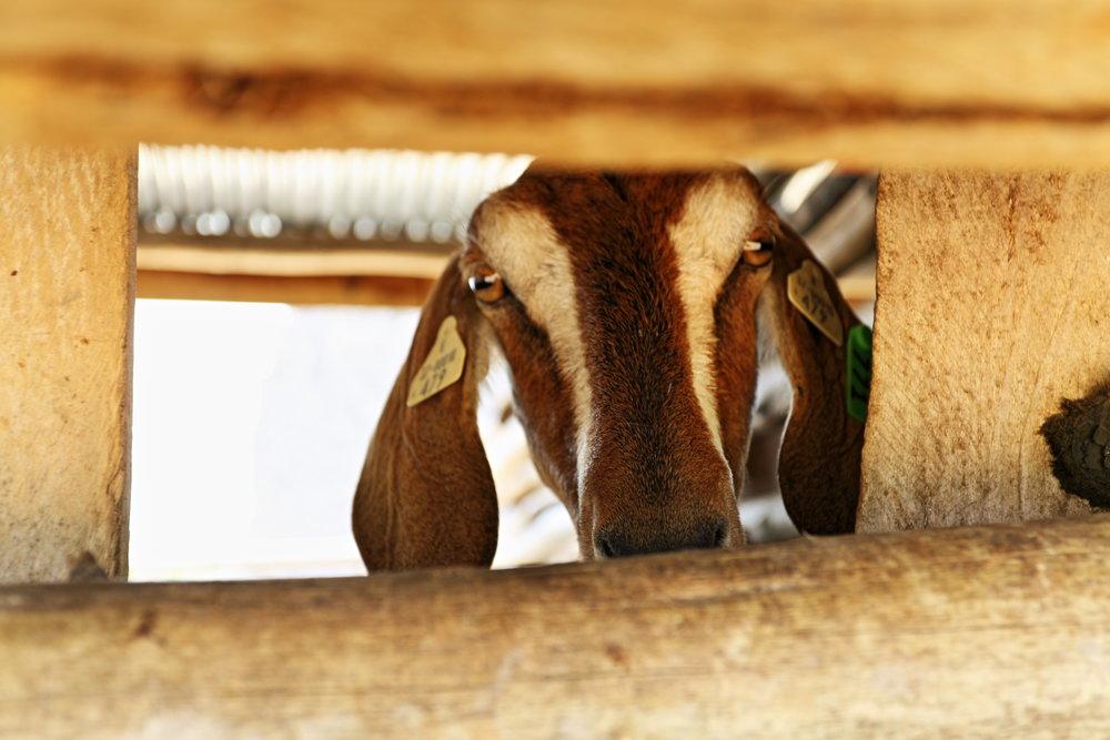 Goat in Square_2.15.JPG