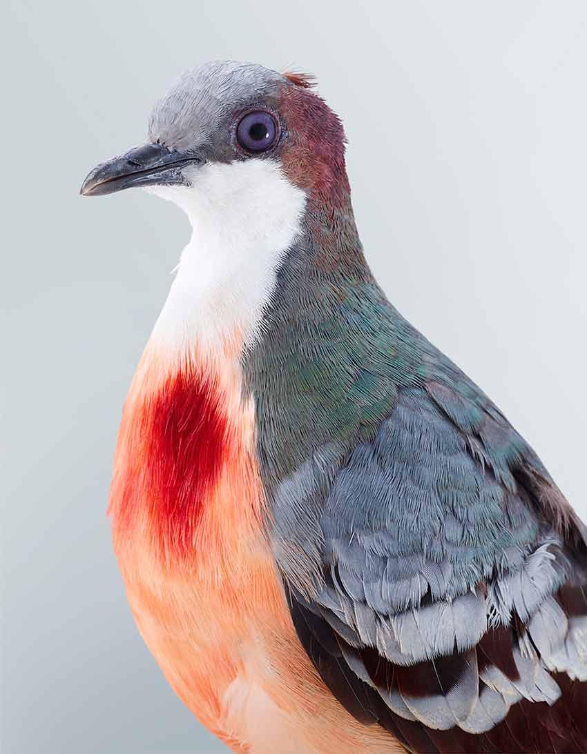 'Bleeding Heart Dove'   from  Ornithurae  (2017)