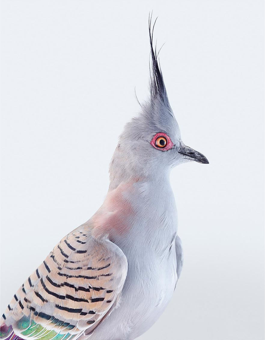 Crested Pigeon  (2017)