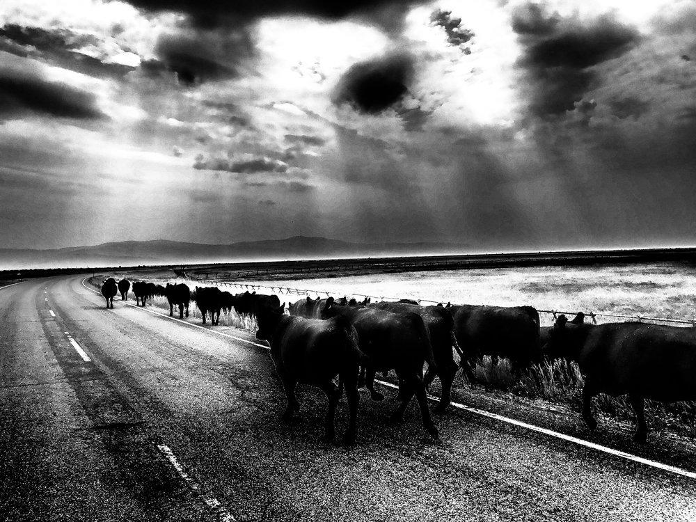 Cattle Drive, Outside Wisdom, Montana