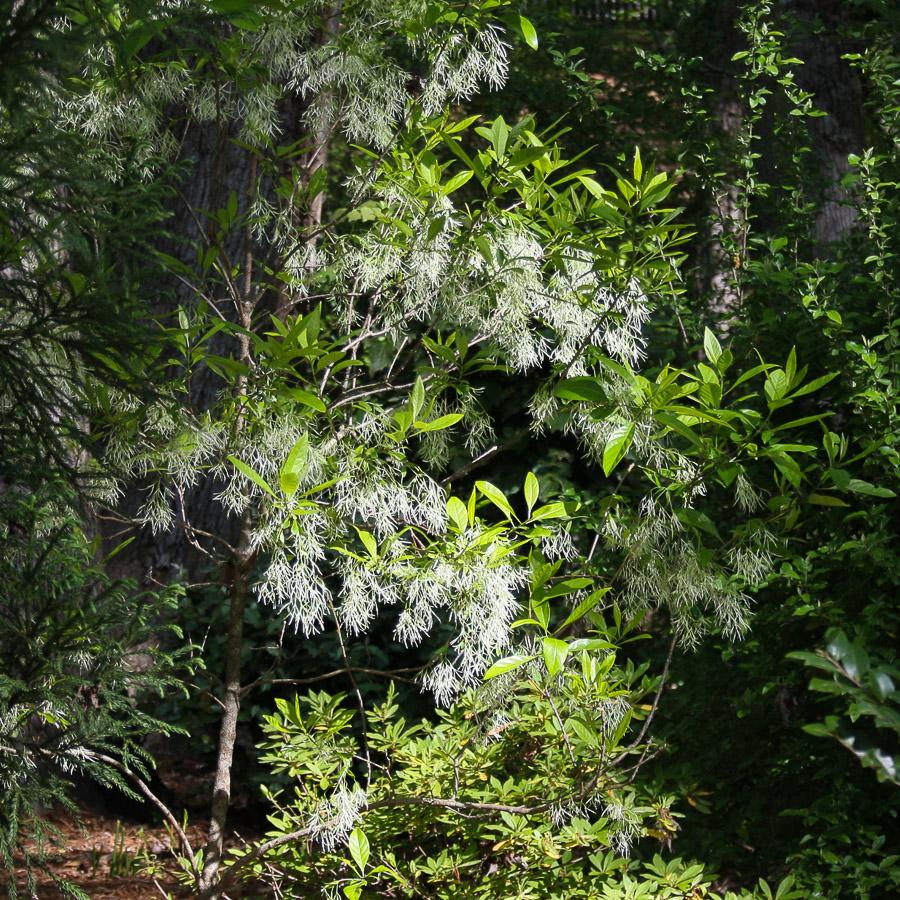 Cary-Grancie-Greybeard-flowers (1 of 1).jpg