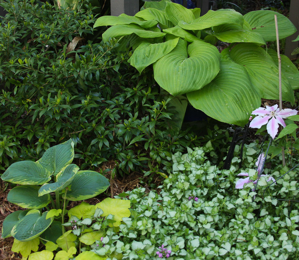 Cary-hosta-and-clematis (1 of 1).jpg