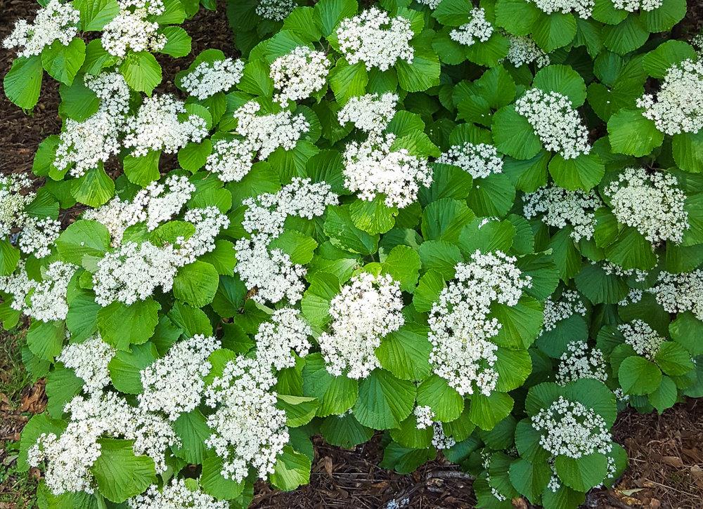 flowering-viburnum_middendorf (1 of 21).jpg