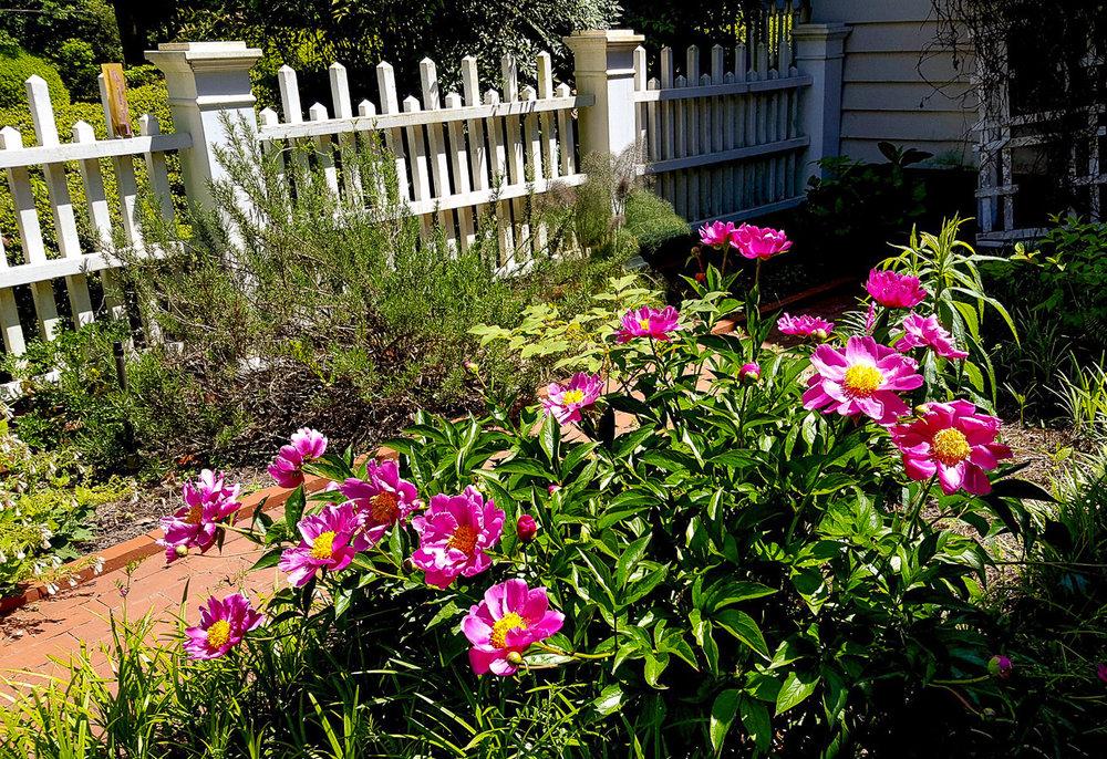 middendorf-peony-garden (1 of 1).jpg