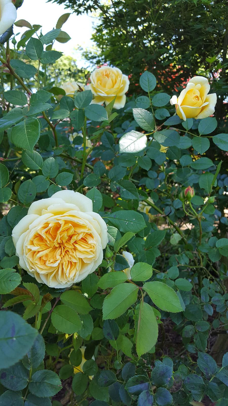 middendorf-yellow-rose (1 of 1).jpg