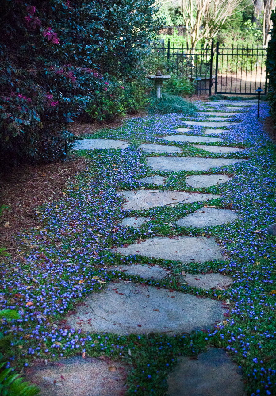 Johnston-garden-blue-mazus-mass-with-stepping-stones (1 of 1).jpg
