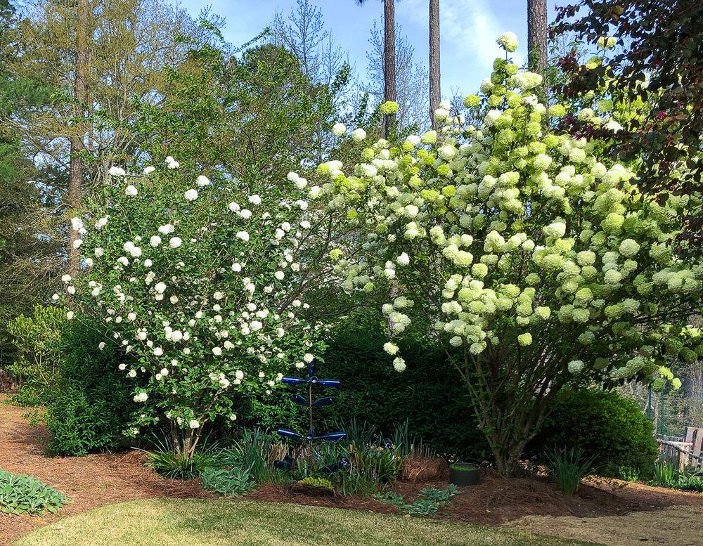 Cavan-garden-snowball vibrunum in bloom (1 of 1).jpg