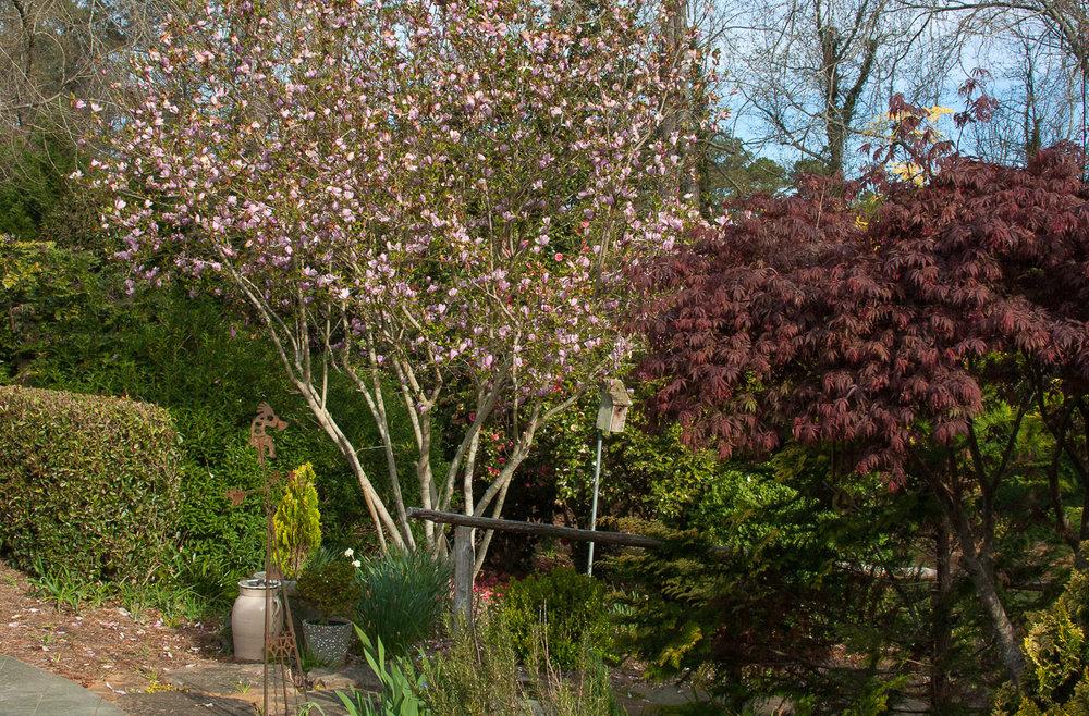 Cavan-pink magnolia in bloom (1 of 1).jpg