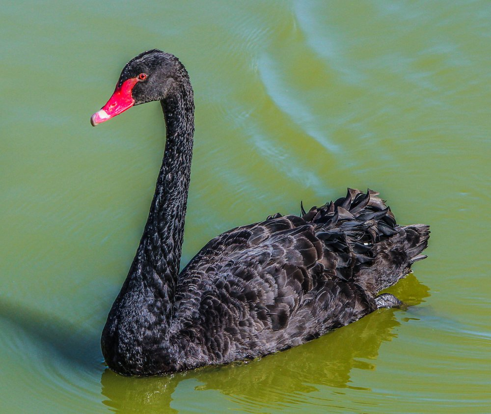 Black Swan Management