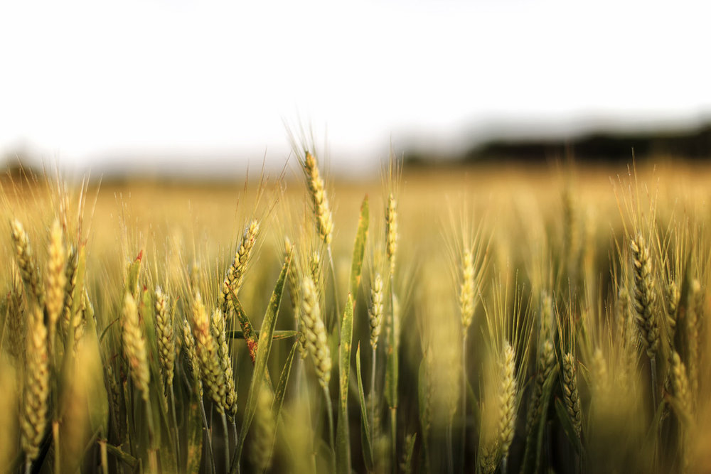 close up of wheat at sunset