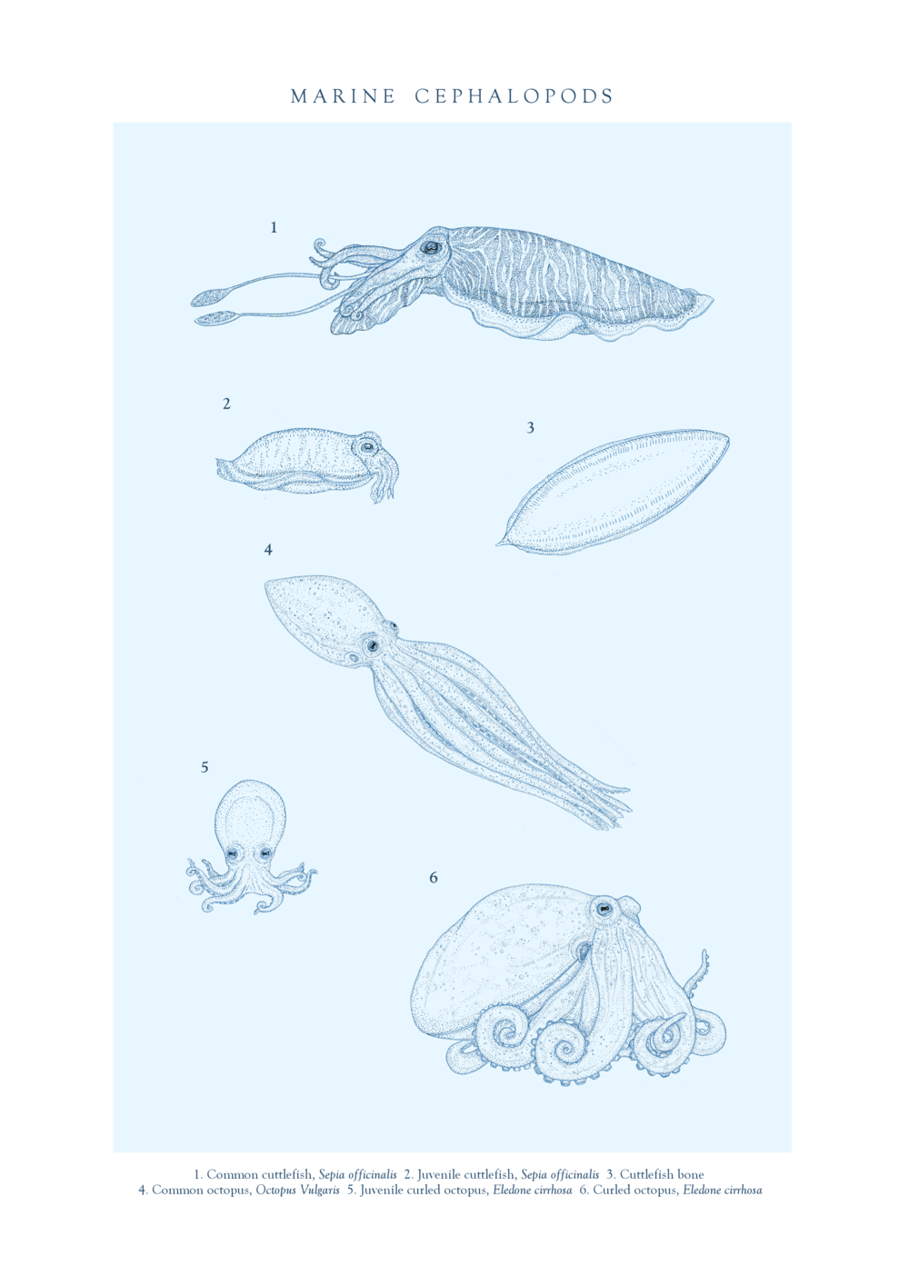 file21. TVOD Cephalopods final A4.png