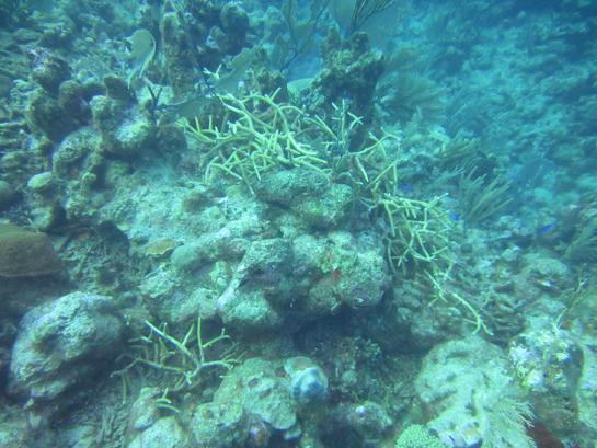 A Wild Colony of Staghorn Coral From Which Fragments Were Harvested. Photo: David Stone.
