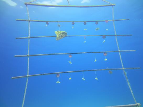 Elkhorn Coral Fragments Growing On A Coral Ladder. Photo: David Stone.