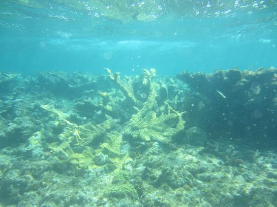 Wild Colony of Elkhorn Coral From Which Fragments Were Harvested. Photo David Stone.