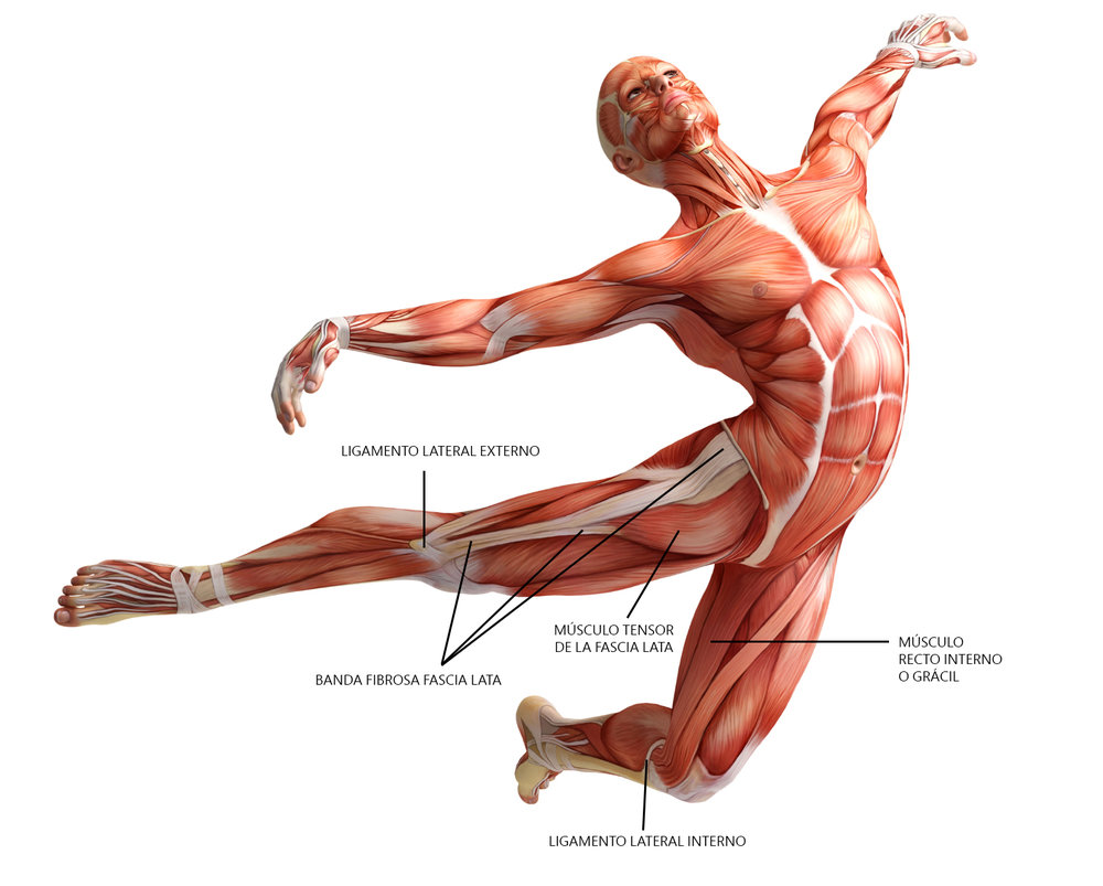 anatomia-fascia-lata-musculo-recto-interno-ligamento-lateral-interno-y-externo[1].jpg