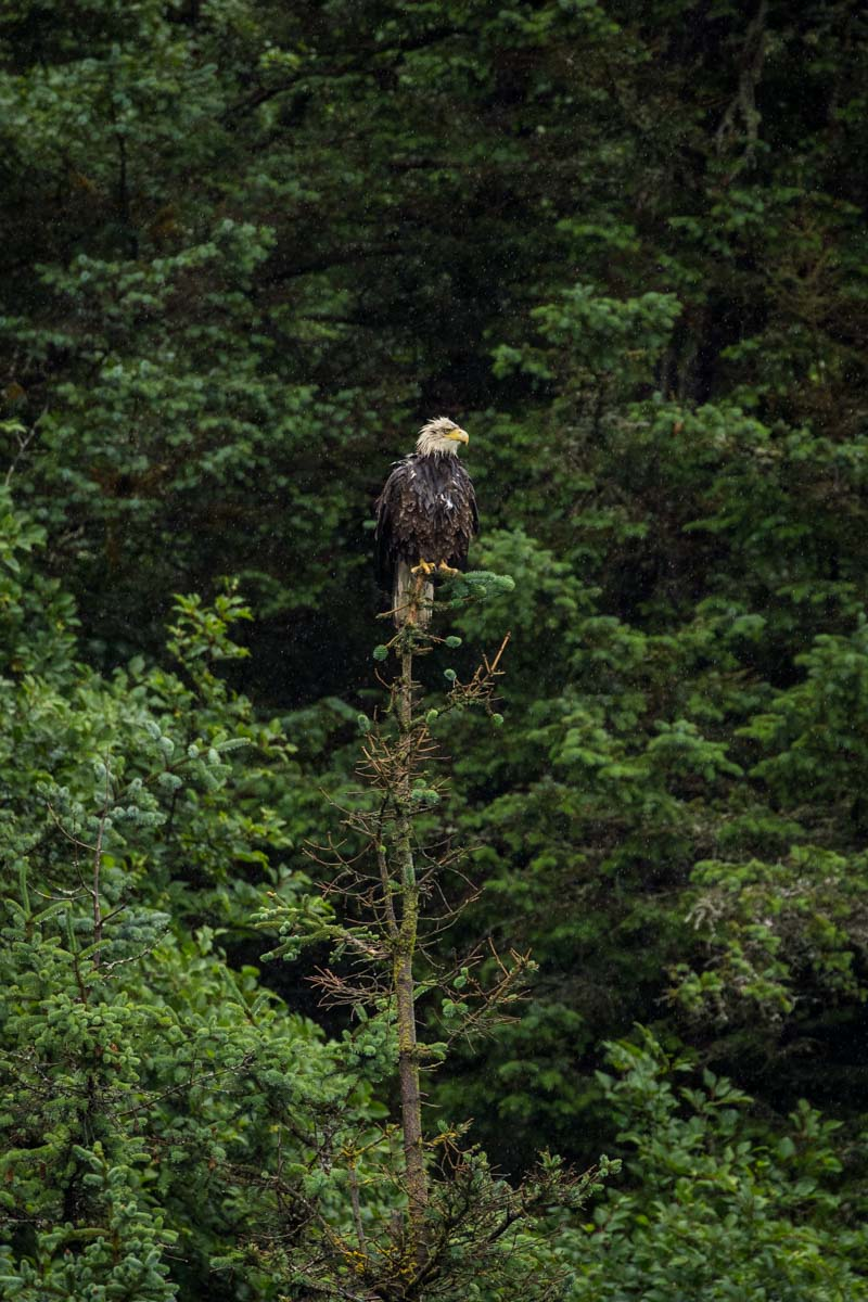 Eagle perched on a tree in Alaska