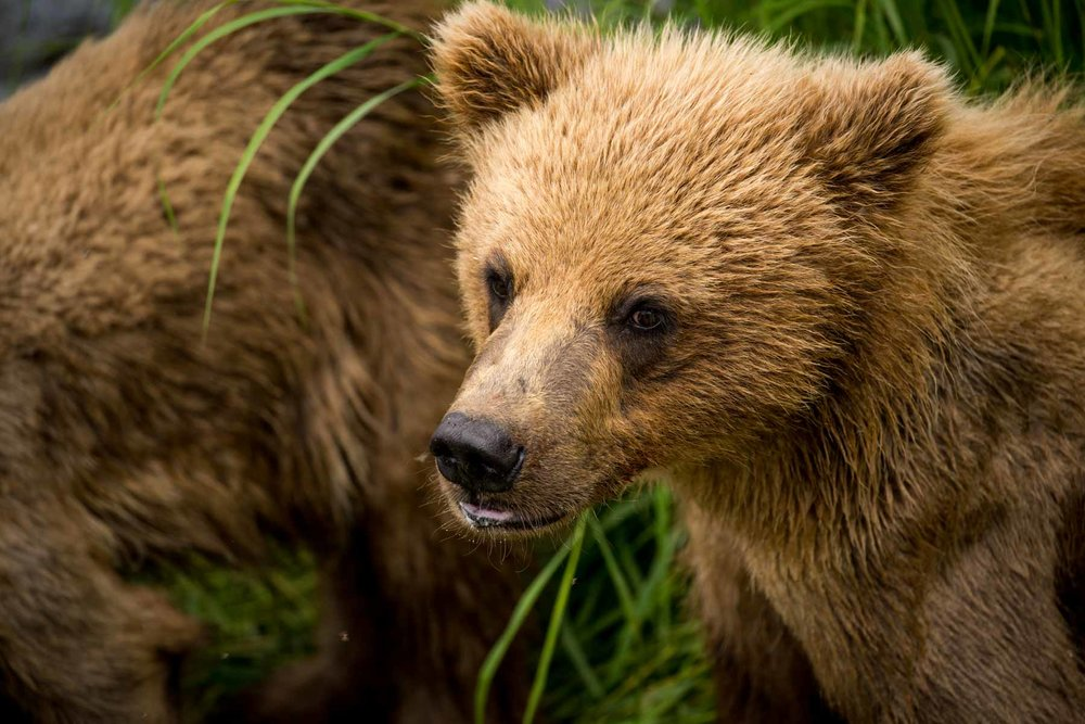 Close up of a young bear taken in Alaska
