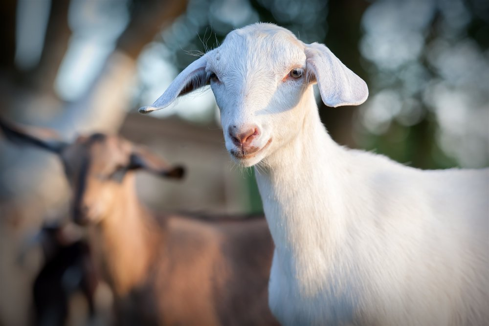"""Biozest has helped us take our milk production from 33,000kg milk solids to 44,000. The goats processed grass more efficiently and lab tests show urea excretion reduced by 37%"""