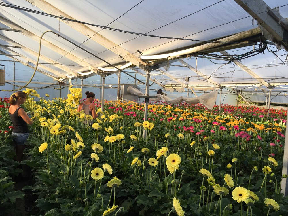 """""""Primazest has changed the way we grow. After having ongoing pH problems our plants became very sick and Primazest was the only product that was able to bring them back to full health. We have noticed so many benefits since using this product. Longer stem length, larger flowers, brighter colours & healthier plant growth. """" - Nicola and Jenna, Gerbera Growers, Auckland."""