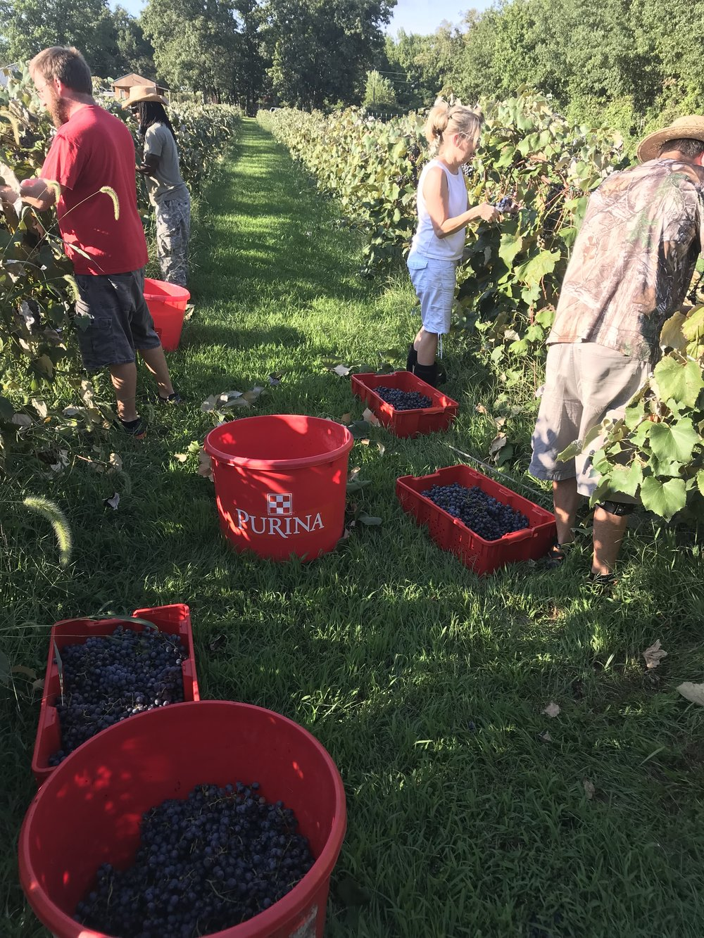 Fall - WE HARVEST GRAPES