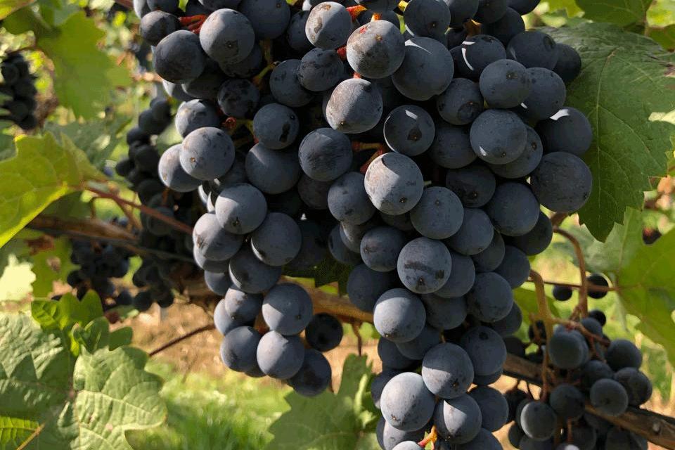 unsere Rotwein Reben im Weinberg