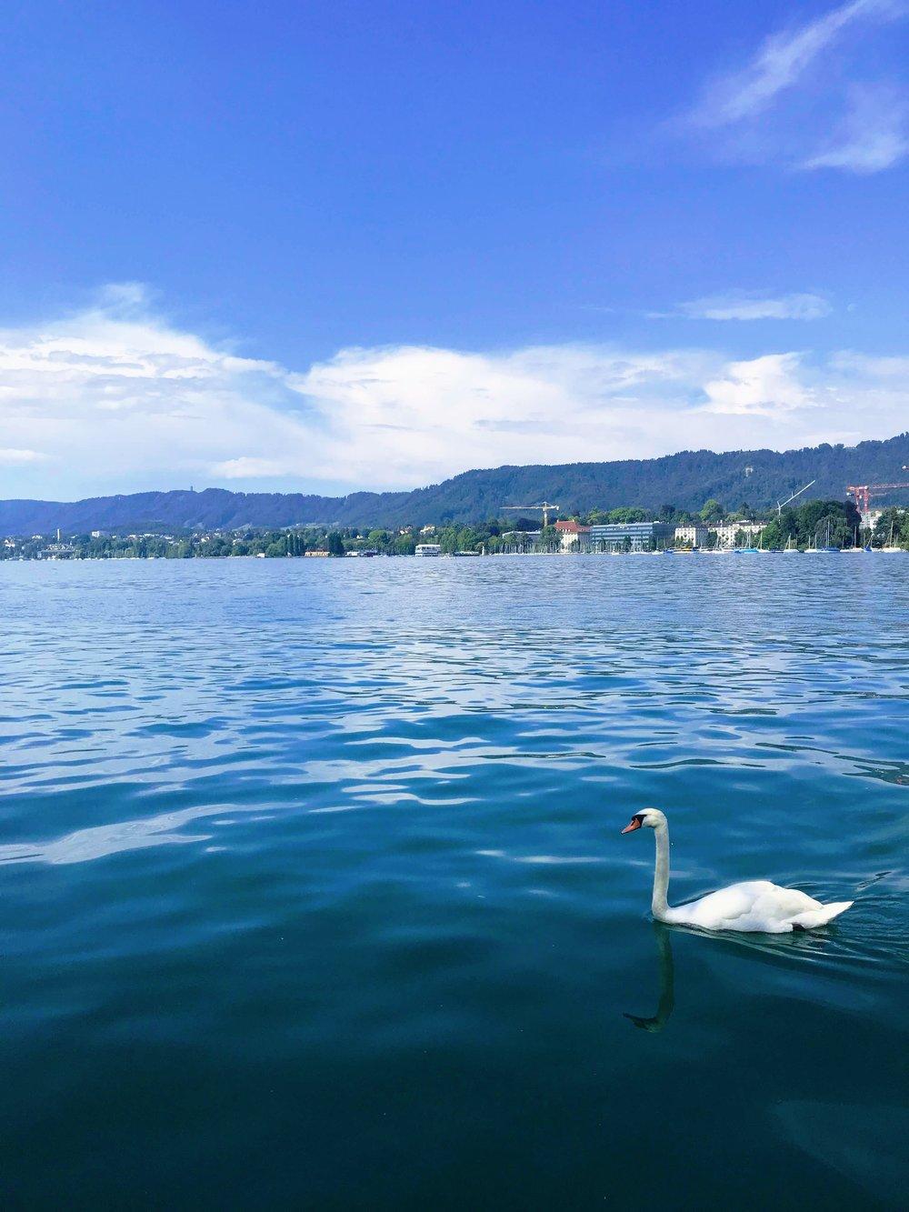 Swans near Bellevue on Lake Zurich