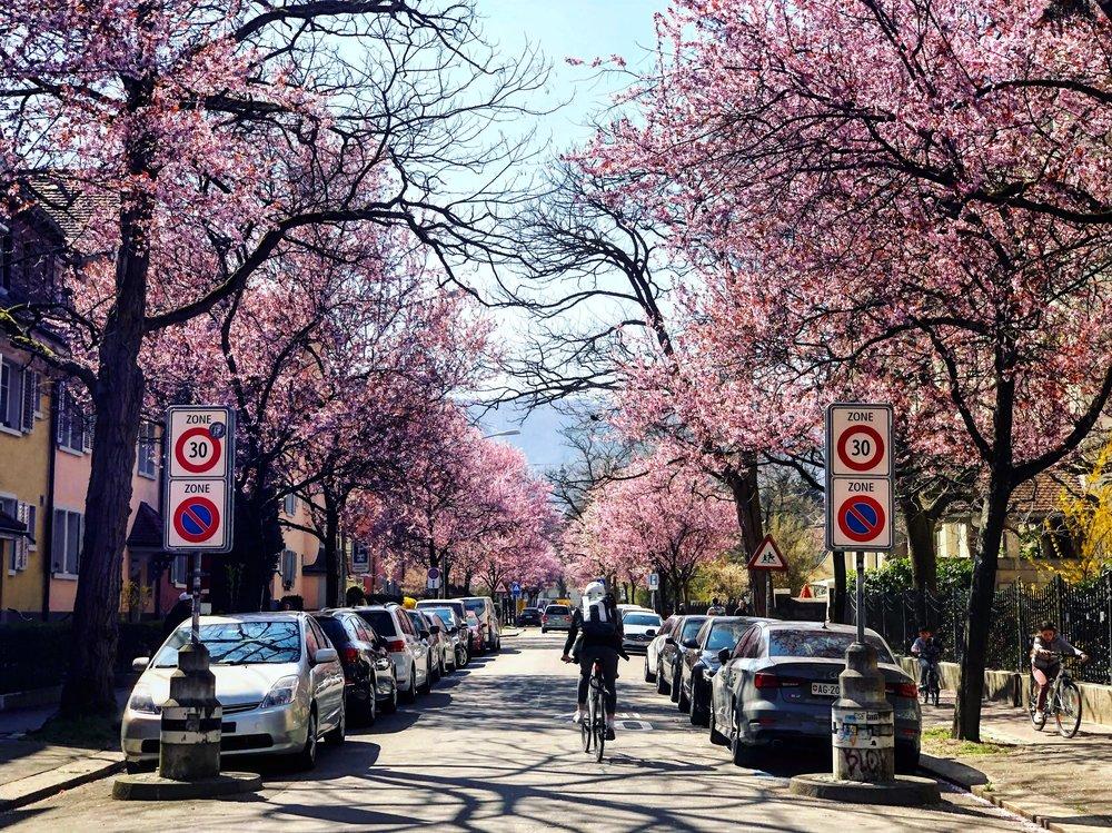 Cherry blossoms in Kreis 4 in the spring in Zurich.jpg