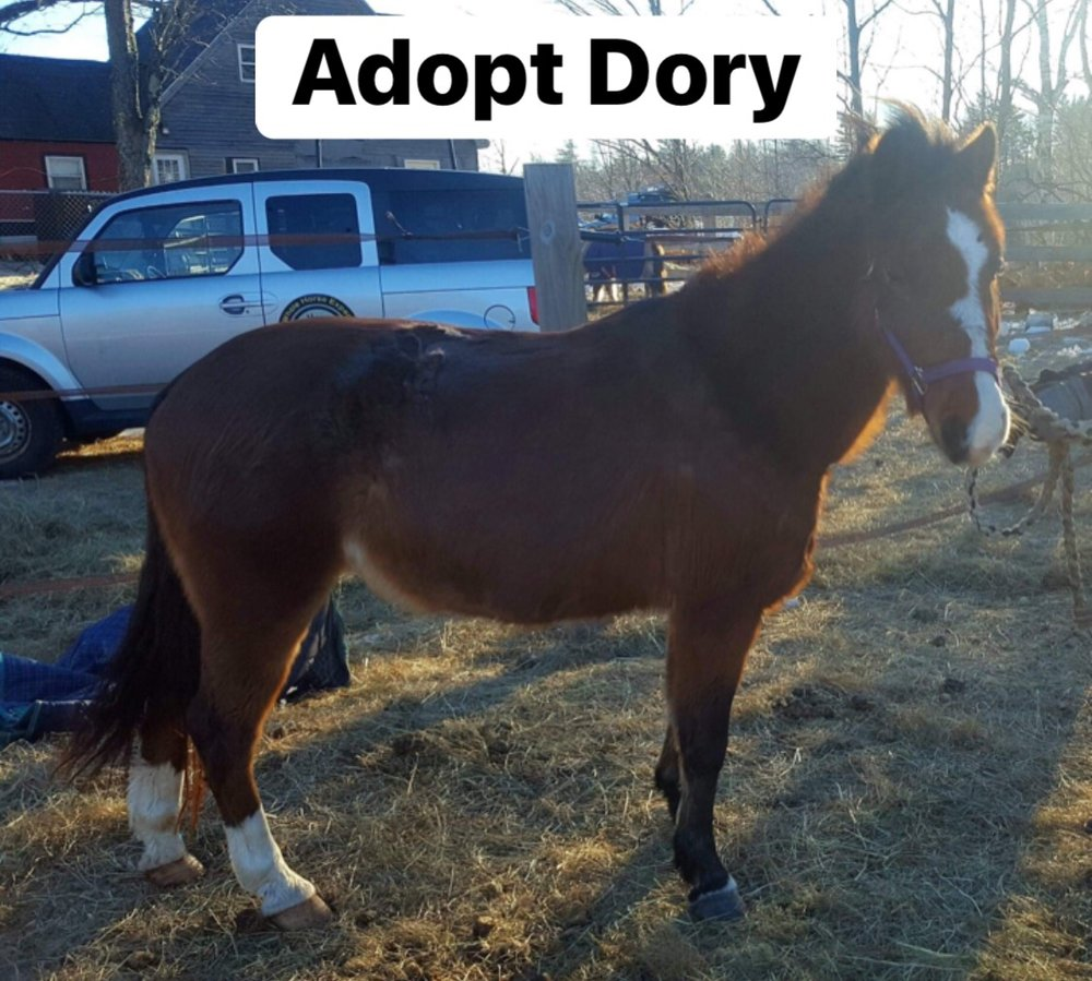 Dory (Adoption Fee: $350) - FemaleDory is an 11yr old 11.2h hackney pony mare.She is said to drive and has been lightly started to lead line. She is a busy, animated little nugget like all good hackneys and will thrive in an experienced home that can be understanding and patient as she continues to recover from being run through many auctions in 10 short months.