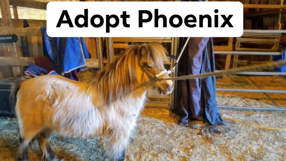 Phoenix (Adoption Fee: $350) - Male (Gelded)Phoenix is a 4-5 year old 9h pony.Not yet a kids pony. Would make an adorable driving pony or companion for an adult home.