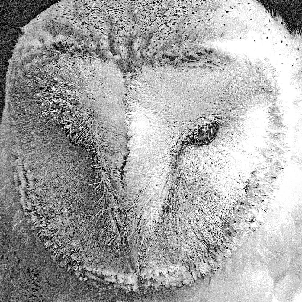 Julie Folds - Barn Owl
