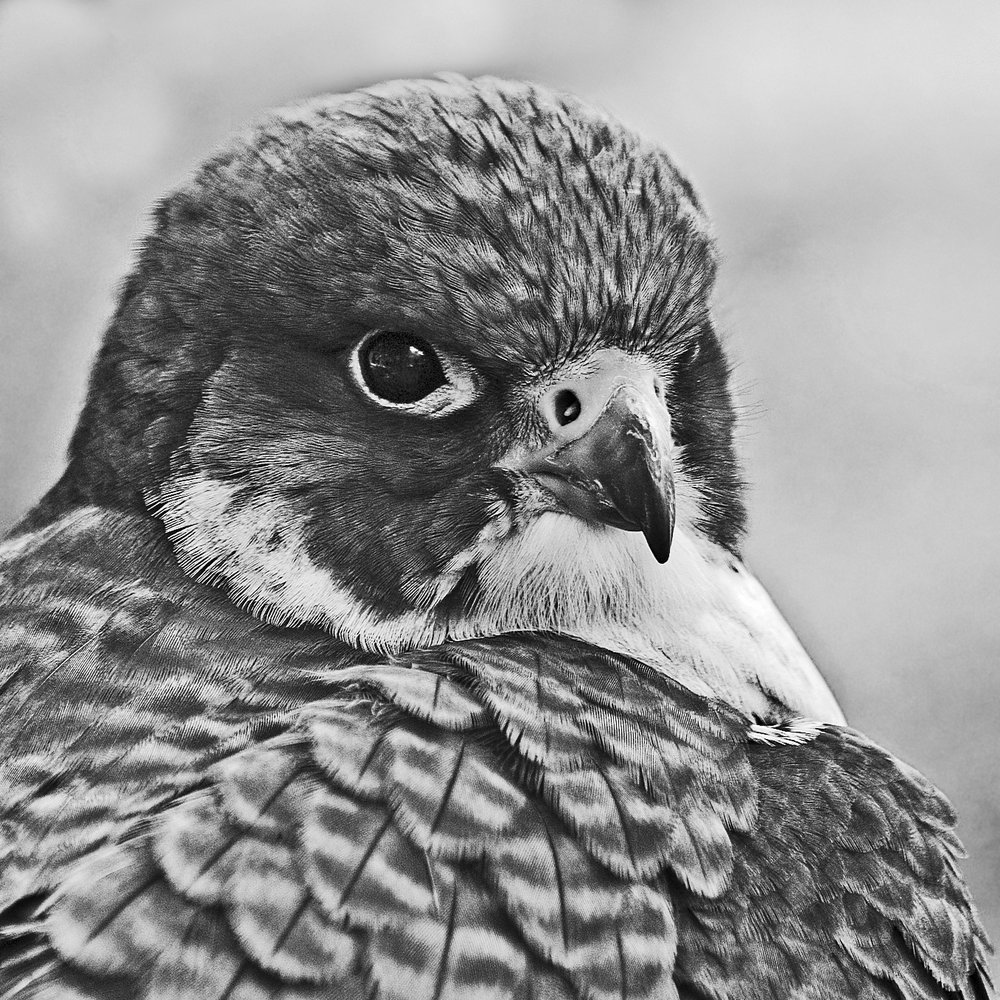 Julie Folds - Peregrine Falcon