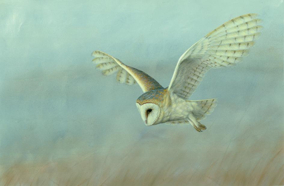 Robert Fuller - Barn Owl on Lookout