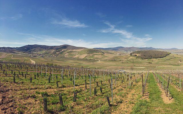 Belle journée de tournage dans les vignes d'Alsace  #alsace #vignes #vin #biodynamie