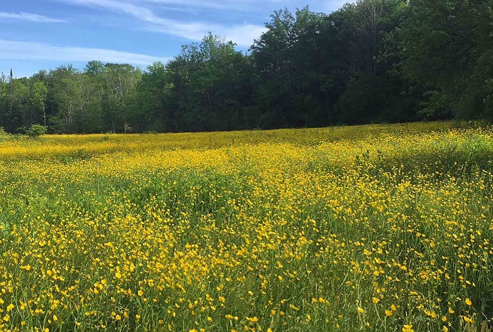 Sea-of-Buttercups.jpg