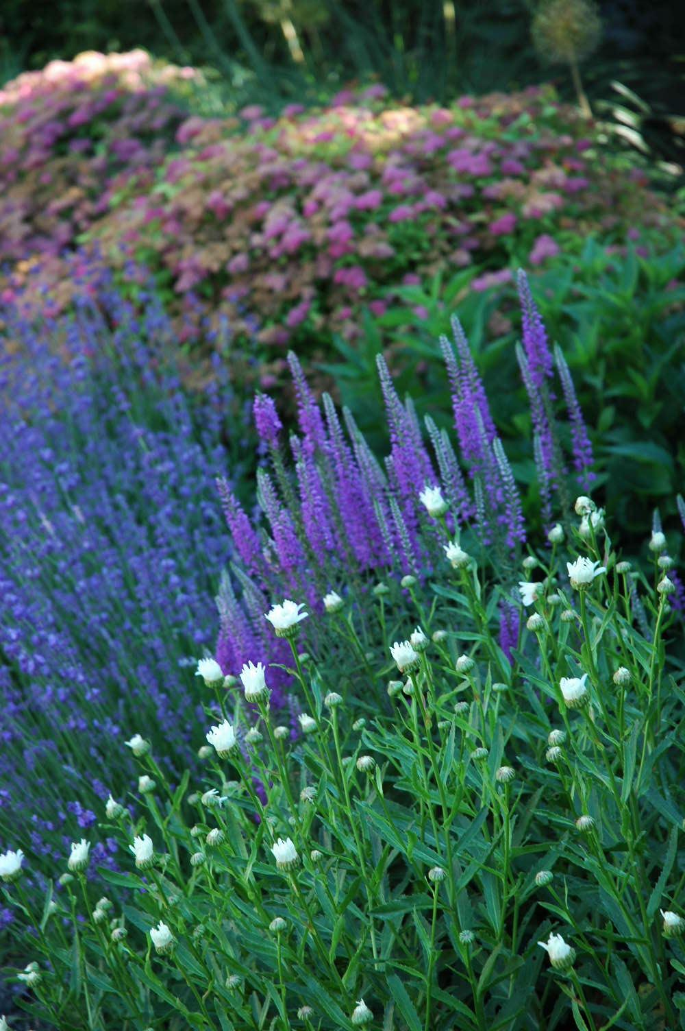 daisy,veronica, lavender, spirea.JPG