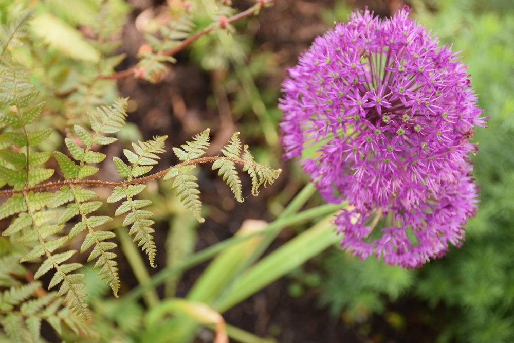 Allium-fern-plant design