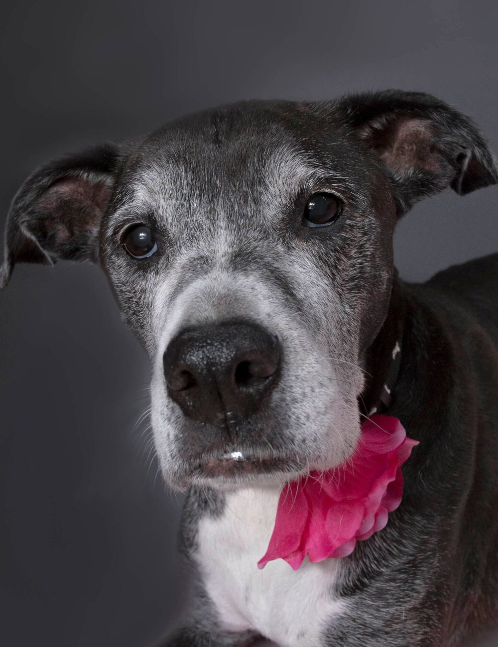 Kim came and photographed my sweet senior dog Roo. She was so patient and professional, and its obvious what an incredible rapport she has with animals - I was amazed at what she got Roo to do and what amazing photos she took. Can't recommend her enough! -