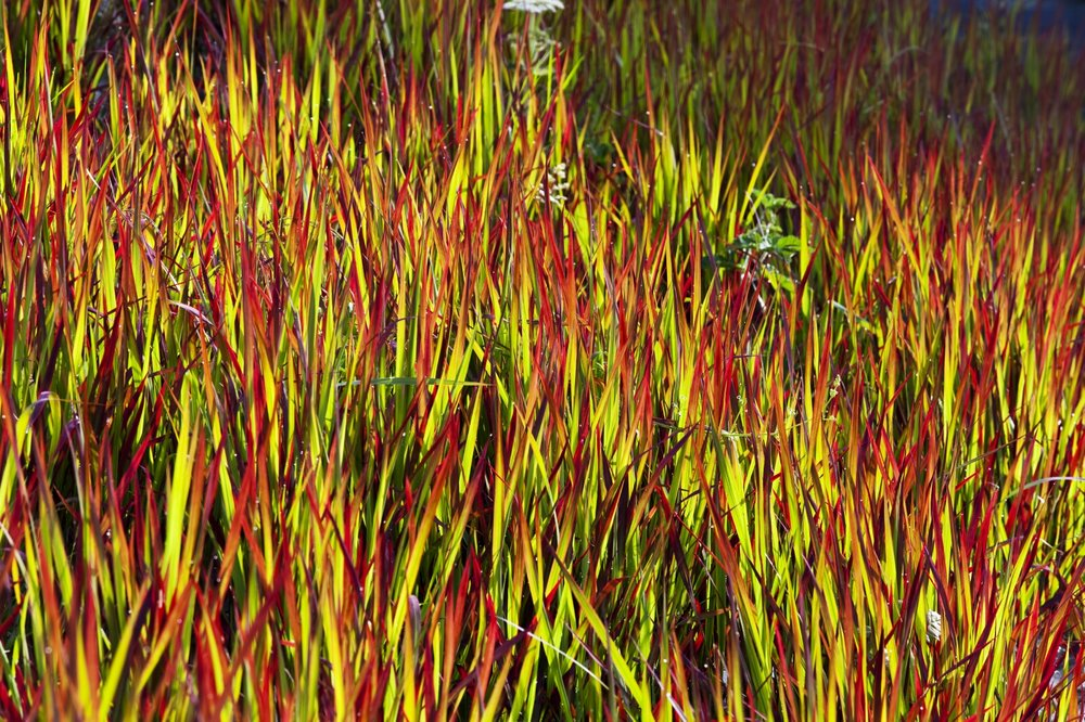 Imperata red barron (2010), photo courtesy Charles Hawes