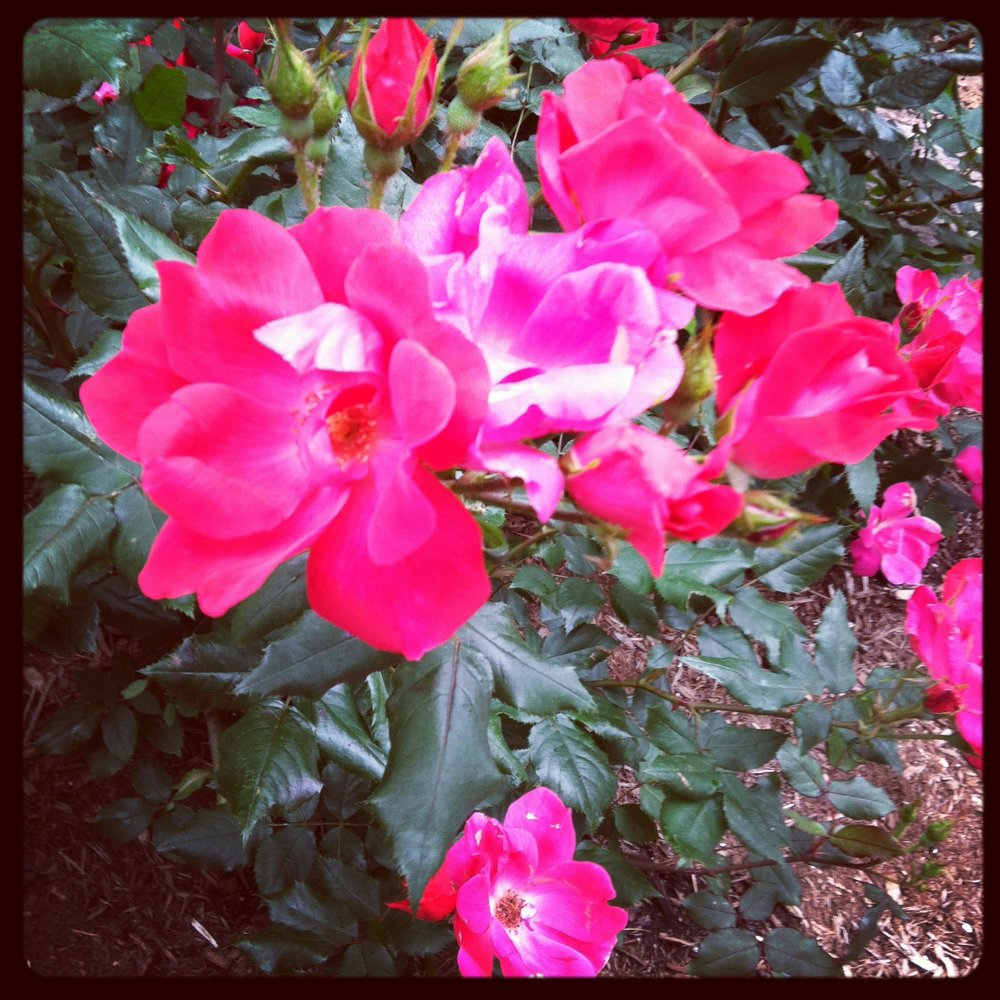 """some more of the beautiful pink flowers around DC... i think pink is the """"in"""" color for flowers this year."""
