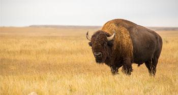 Bison at EINP