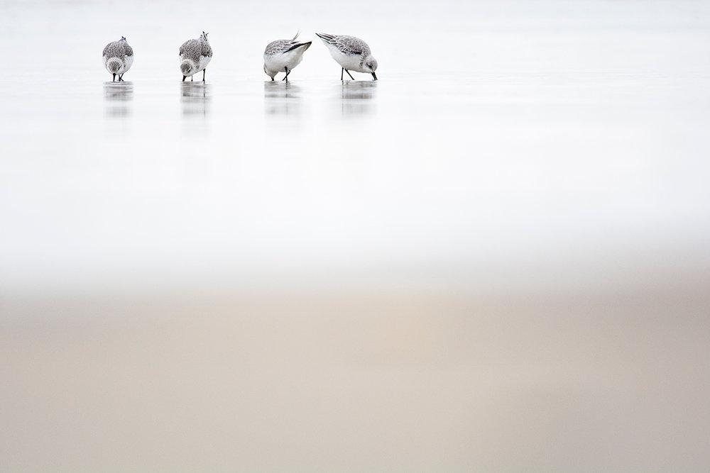 Bécasseaux sanderlings / Sanderlings  (Calidris alba)