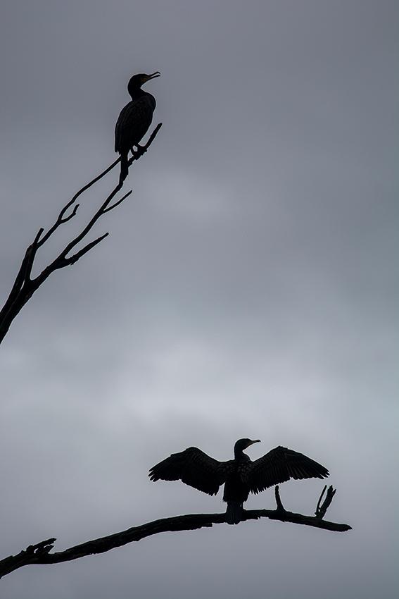 Grands cormorans / Great cormorants (Phalacrocorax carbo )